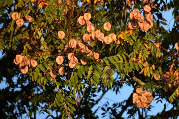 southwest florida trees, southwest florida golden rain tree, southwest florida landscapes