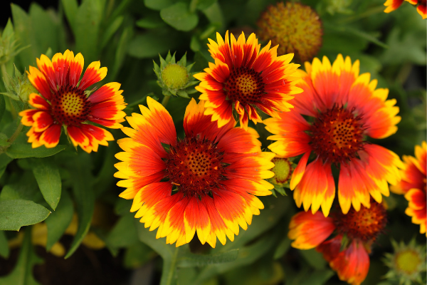 florida flowers, blanket flower, orange and yellow flower