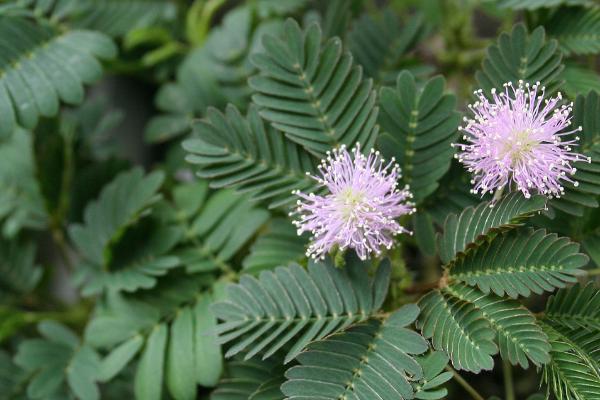 florida flowers, powderpuff mimosa, purple flowers
