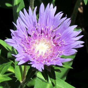 florida flowers, stokes aster, purple flower