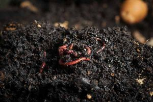 worms that improve soil, compost, worms, red worms, dark soil